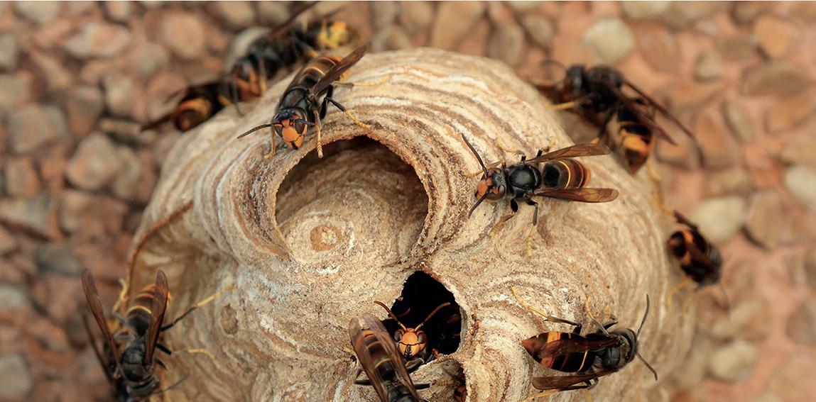 Rusc de vespes asiàtiques